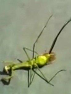 螳螂肚子里的铁线虫_螳螂肚子里的虫子